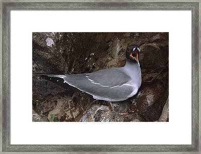 Swallow-tailed Gull And Chick Calling Framed Print by Tui De Roy