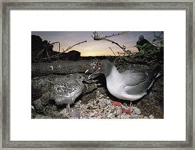 Swallow-tailed Gull And Chick In Pebble Framed Print by Tui De Roy