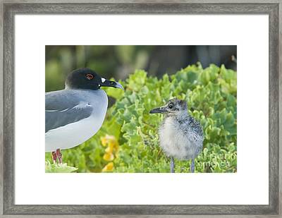 Swallow-tailed Gull Chick And Adult Framed Print by William H. Mullins
