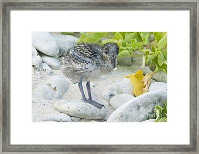 Swallow-tailed Gull Chick Framed Print by William H. Mullins