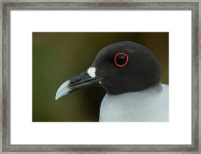 Swallow-tailed Gull (larus Furcatus Framed Print by Pete Oxford