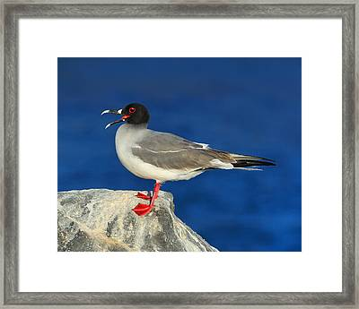 Swallow-tailed Gull Framed Print