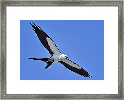 Swallow-tailed Kite Framed Print