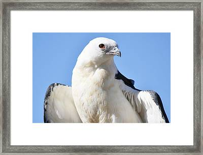 Swallow-tailed Kite Framed Print by Paulette Thomas