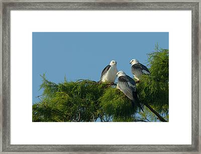 Swallow-tailed Kites Roosting Framed Print