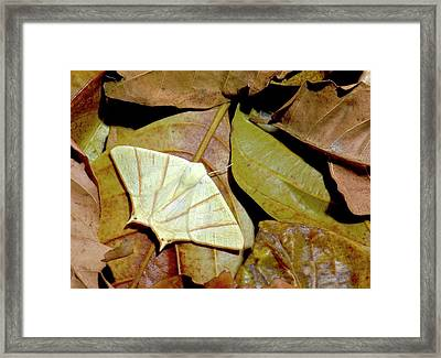 Swallow-tailed Moth Framed Print