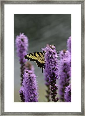 Swallowtail 0003 Framed Print