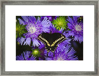 Swallowtail And Astor Framed Print