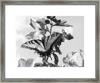 Swallowtail And Rose Of Sharon Bw Framed Print by Diannah Lynch