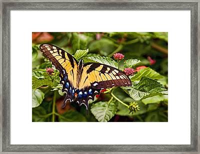 Swallowtail Beauty Framed Print