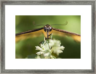 Swallowtail Butterfly Framed Print by Adam Romanowicz