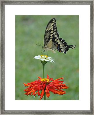 Swallowtail Butterfly And Zinnias Framed Print by Cindy Croal