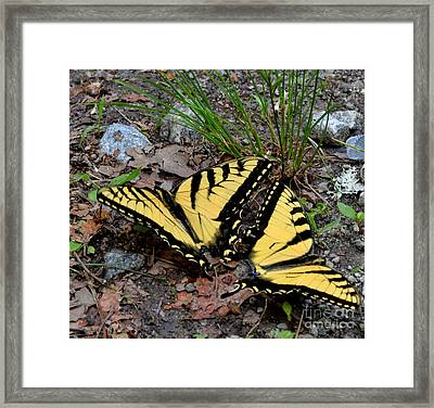 Swallowtail Butterfly Couple Framed Print by Eva Thomas