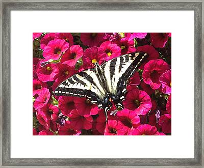 Swallowtail Butterfly Full Span On Fuchsia Flowers Framed Print