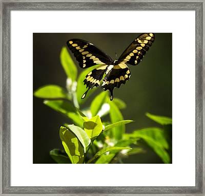 Swallowtail Butterfly In Flight  Framed Print by Saija  Lehtonen