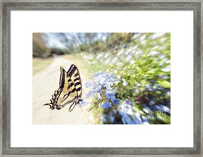 Swallowtail Butterfly In Spring Framed Print