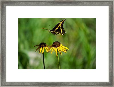 Swallowtail Butterfly Framed Print by Janet Strief