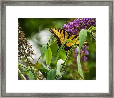 Swallowtail Butterfly Framed Print by Jon Woodhams