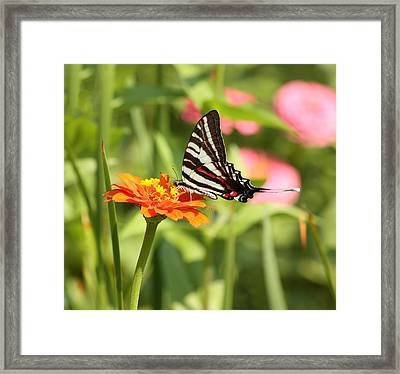Swallowtail Butterfly Framed Print by Kim Hojnacki