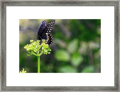 Swallowtail Butterfly Framed Print by Lorri Crossno