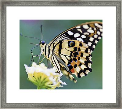 Swallowtail Butterfly Framed Print by Maj Seda