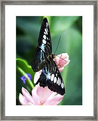 Swallowtail Butterfly Framed Print by Marilyn Hunt