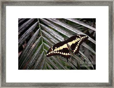 Swallowtail Butterfly Framed Print by Olivier Le Queinec