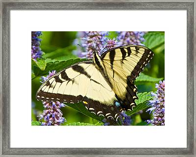 Swallowtail Butterfly On Anise Hyssop Framed Print