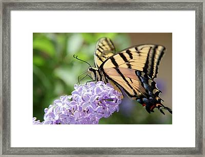 Framed Print featuring the photograph Swallowtail Butterfly On Lilac by Ron Chilston