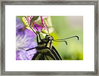 Swallowtail Butterfly Framed Print by Priya Ghose