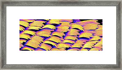 Swallowtail Butterfly Wing Scales Framed Print by Susumu Nishinaga