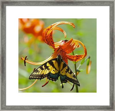 Swallowtail Butterfly3 Framed Print