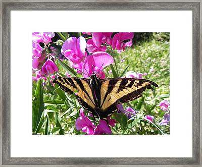 Framed Print featuring the photograph Swallowtail by Cheryl Hoyle