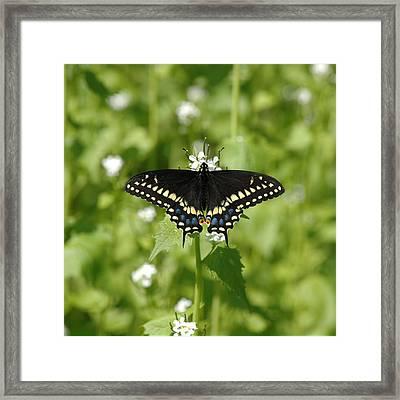 Swallowtail Framed Print