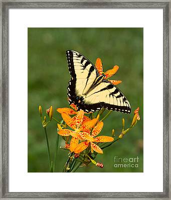Swallowtail Delight Framed Print by Dale Nelson