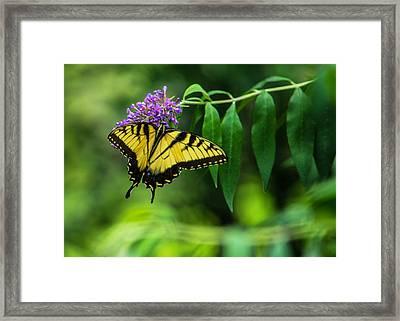 Swallowtail II Framed Print by Jon Woodhams