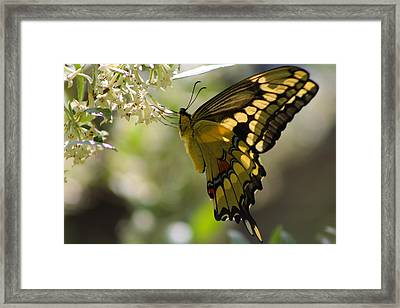 Swallowtail II Framed Print by Sarah Boyd