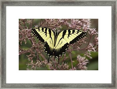 Swallowtail In Pink Framed Print