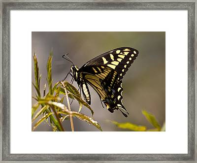 Swallowtail In Profile Framed Print