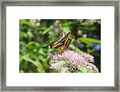 Framed Print featuring the photograph Swallowtail by Karen Silvestri