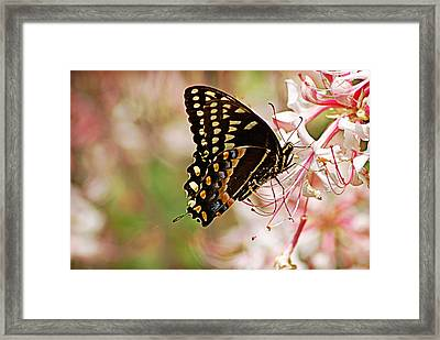 Swallowtail Framed Print by Linda Brown