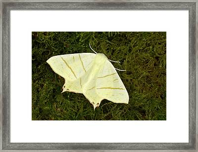 Swallowtail Moth Framed Print by Nigel Downer