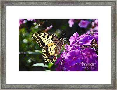 Swallowtail On A Flower Framed Print