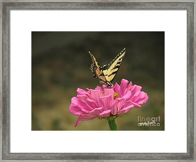 Swallowtail On A Zinnia Framed Print by Debby Pueschel