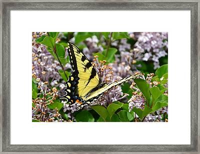 Swallowtail On Lilacs Framed Print
