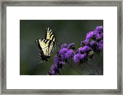 Swallowtail On Purple Framed Print