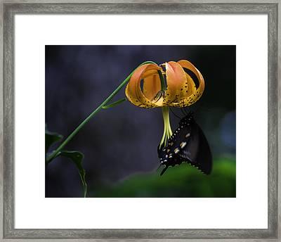 Swallowtail On Turks Cap Framed Print