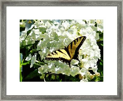 Swallowtail On White Hydrangea Framed Print
