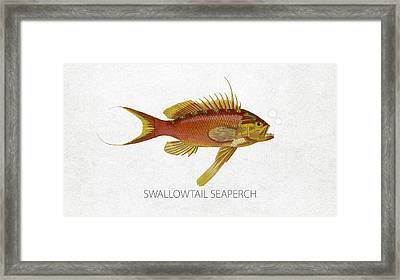 Swallowtail Seaperch Framed Print by Aged Pixel