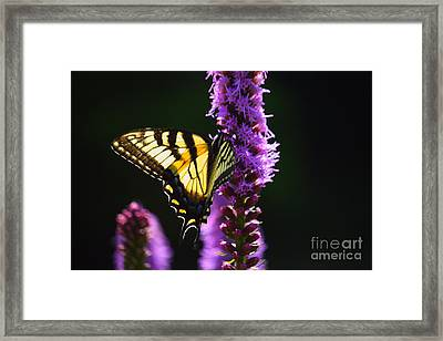 Swallowtail Tail Butterfly  Framed Print
